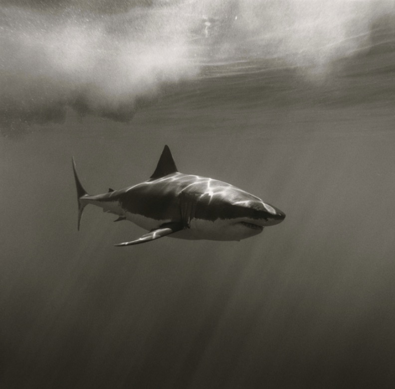 greg williams great white shark