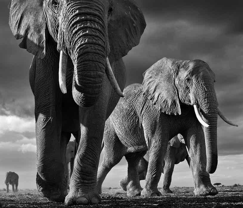 elephants david yarrow
