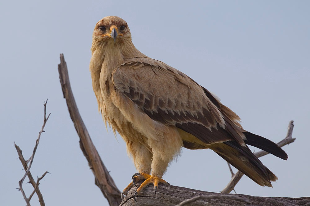 2012-tawny-eagle-0
