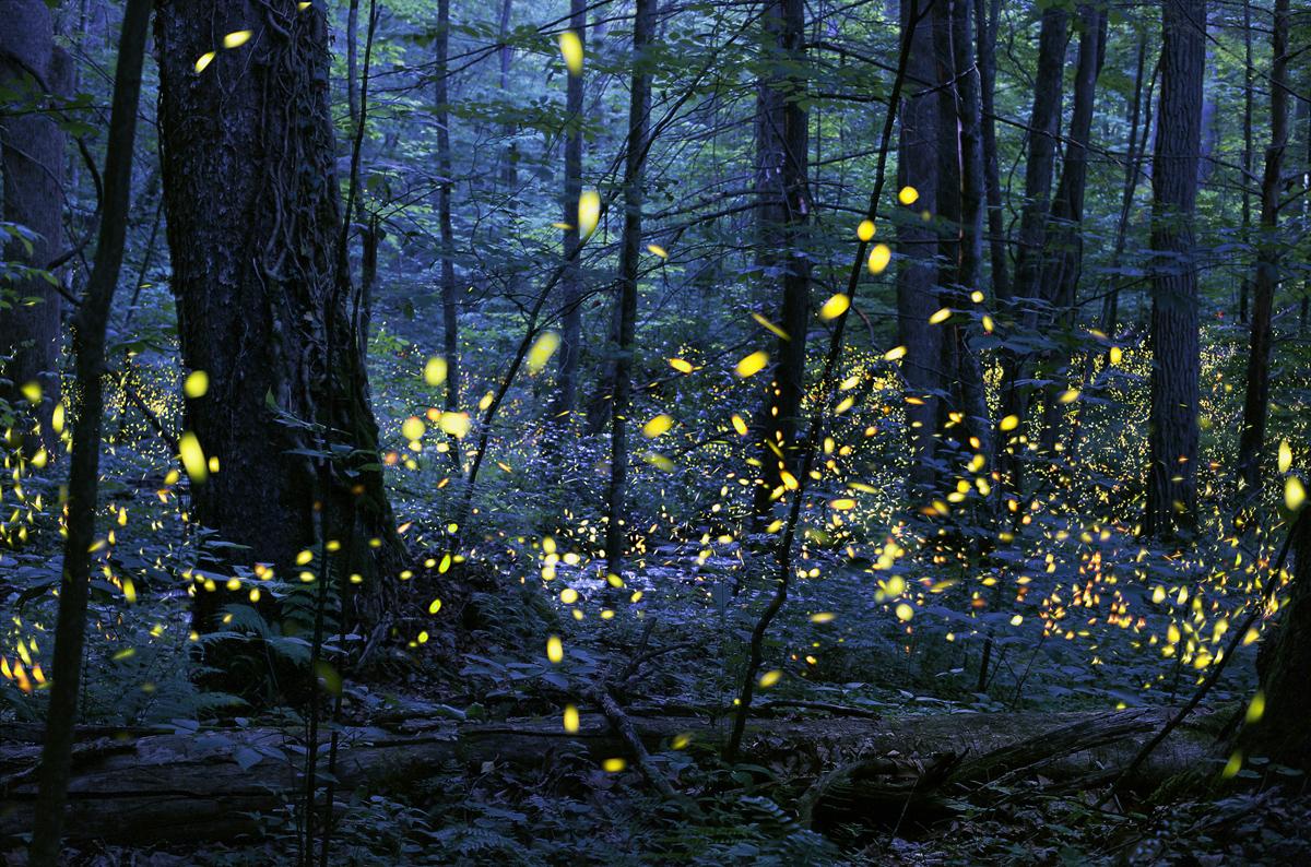Radim Schreiber synchronous fireflies