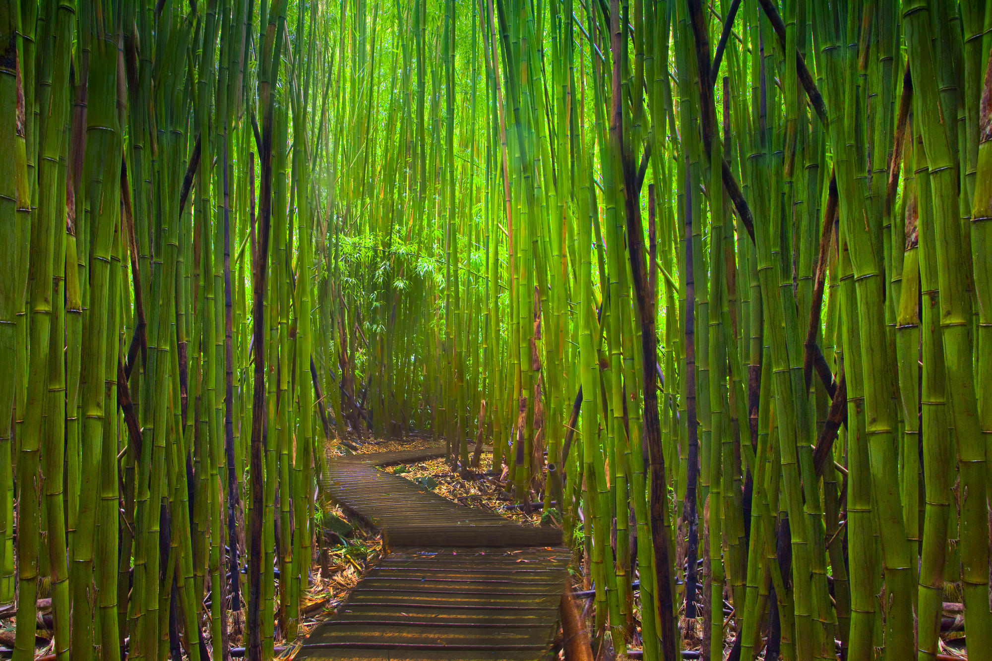 maui bamboo-forest-maui